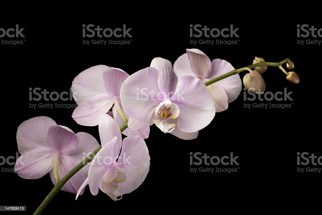 Pink Dendrobium Orchid on Black Background royalty-free stock photo
