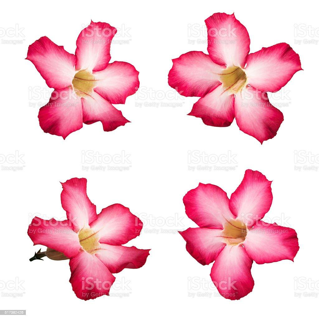Pink Desert rose flowers, isolated on white background stock photo