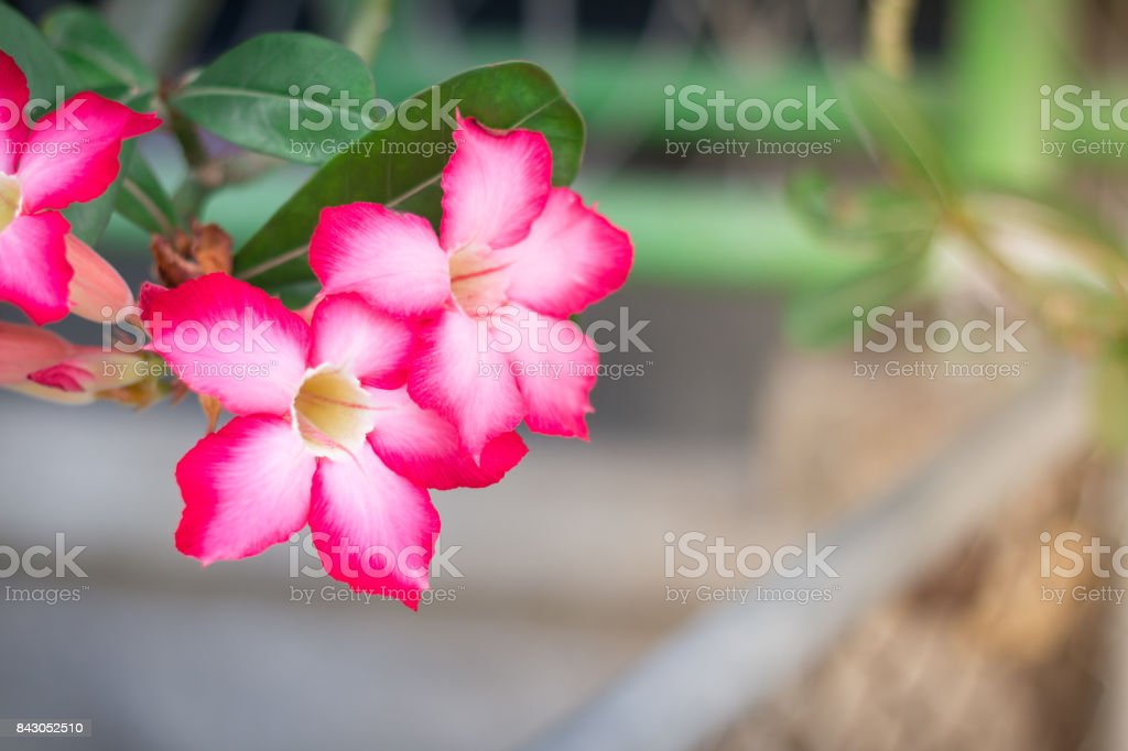Pink Desert Rose or Impala Lily or Mock Azalea flower from tropical climate stock photo