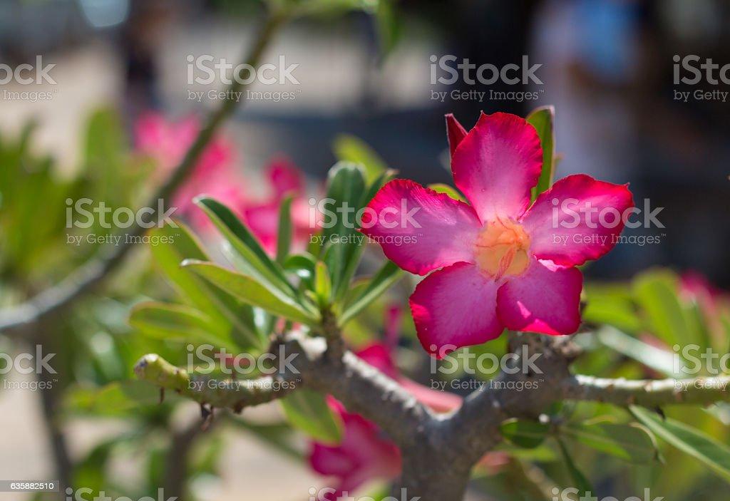 Pink Desert Rose or Impala Lily or Mock Azalea flower stock photo