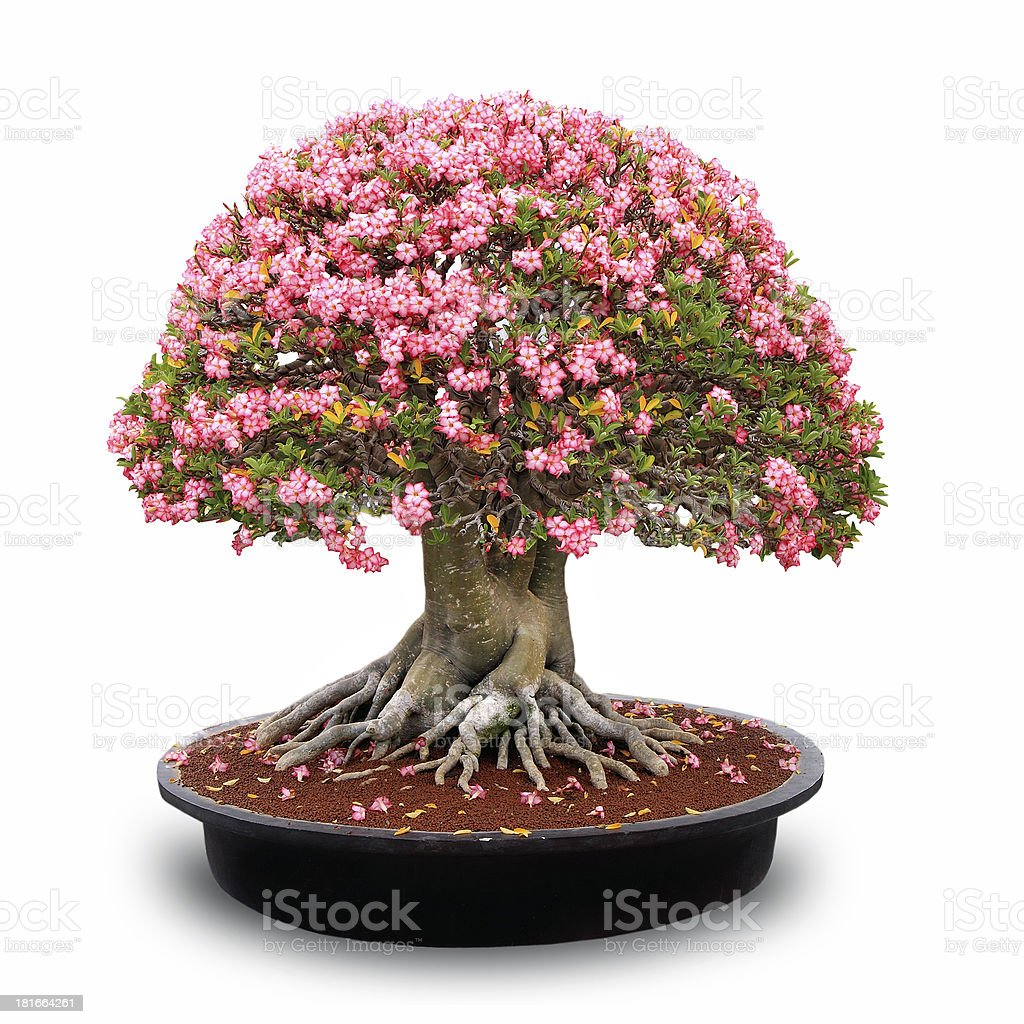 pink desert rose royalty-free stock photo