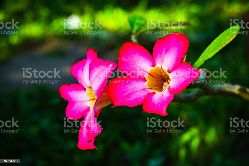 Pink desert rose stock photo more pictures of 2015 istock blossom bunch of flowers flower flower head flowerbed pink desert mightylinksfo