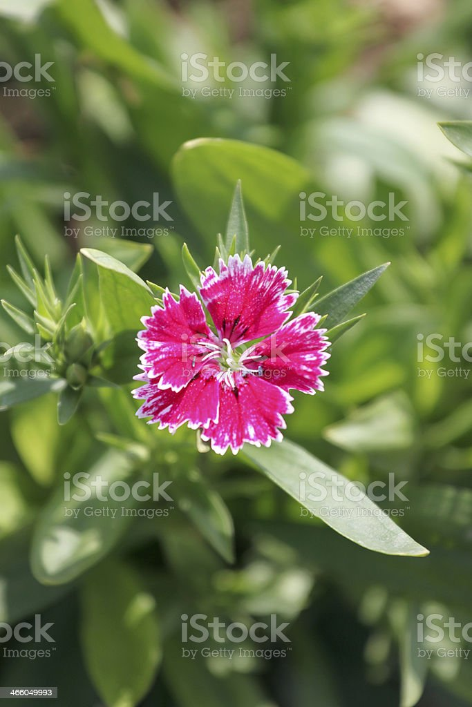 Pink Dianthus chinensis flower. stock photo