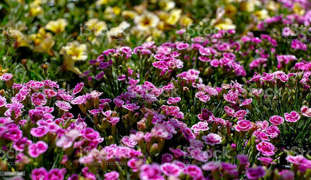 Pink Dianthus Flower Garden stock photo