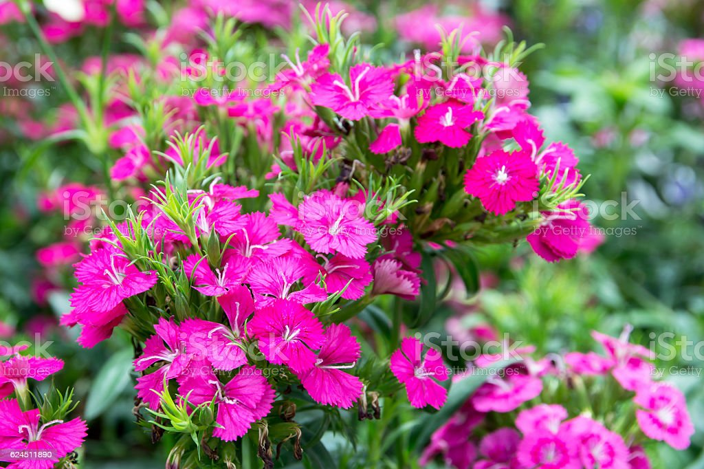 Pink dianthus flower in the park (Dianthus sp.) CARYOPHYLLACEAE stock photo