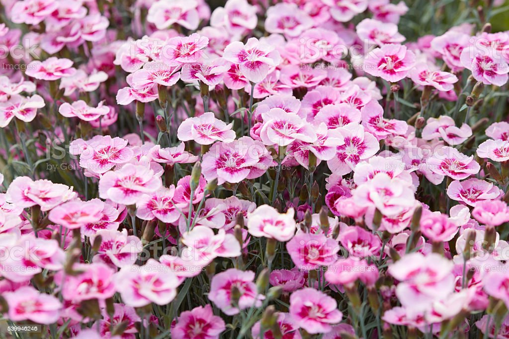 Pink dianthus flowers, carnations background stock photo