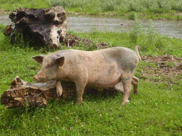 pink dirty pig. deren adult pig grazing in a meadow near the river. - scrofa foto e immagini stock