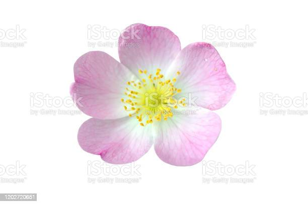 Pink dog rose hip flower macro isolated on white picture id1202720651?b=1&k=6&m=1202720651&s=612x612&h=9vtnx7xxtweqlkowvbsdfctgbh6dok0hygoptdggqdc=