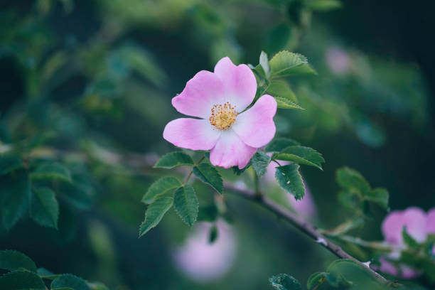 Pink Dog Rose Close up of a pink dog rose in its natural environment. Defocused background. dog rose stock pictures, royalty-free photos & images