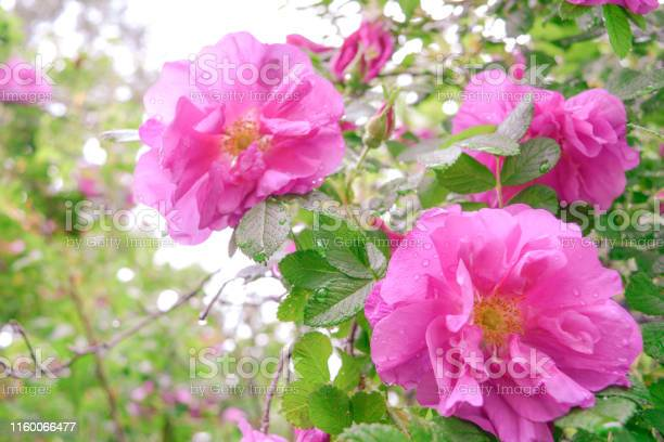 Pink dogrose briar eglantine flowers wild rose hips closeup picture id1160066477?b=1&k=6&m=1160066477&s=612x612&h=hsavemapttzzdz7yfjozk9 pgt9khmu t  ts14kan0=
