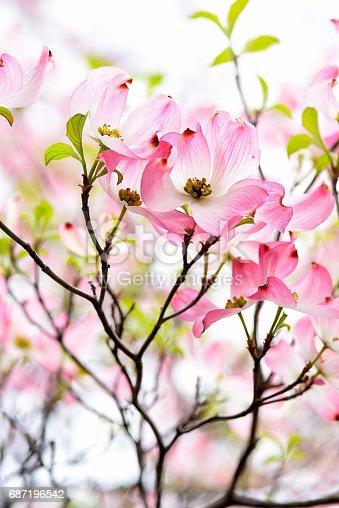 Pink Dogwood  blossoms up close.