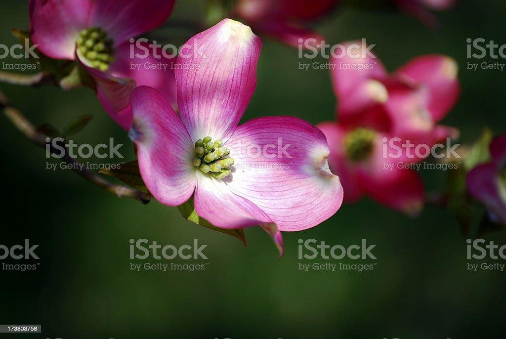 Pink dogwood branch, shallow DOF stock photo