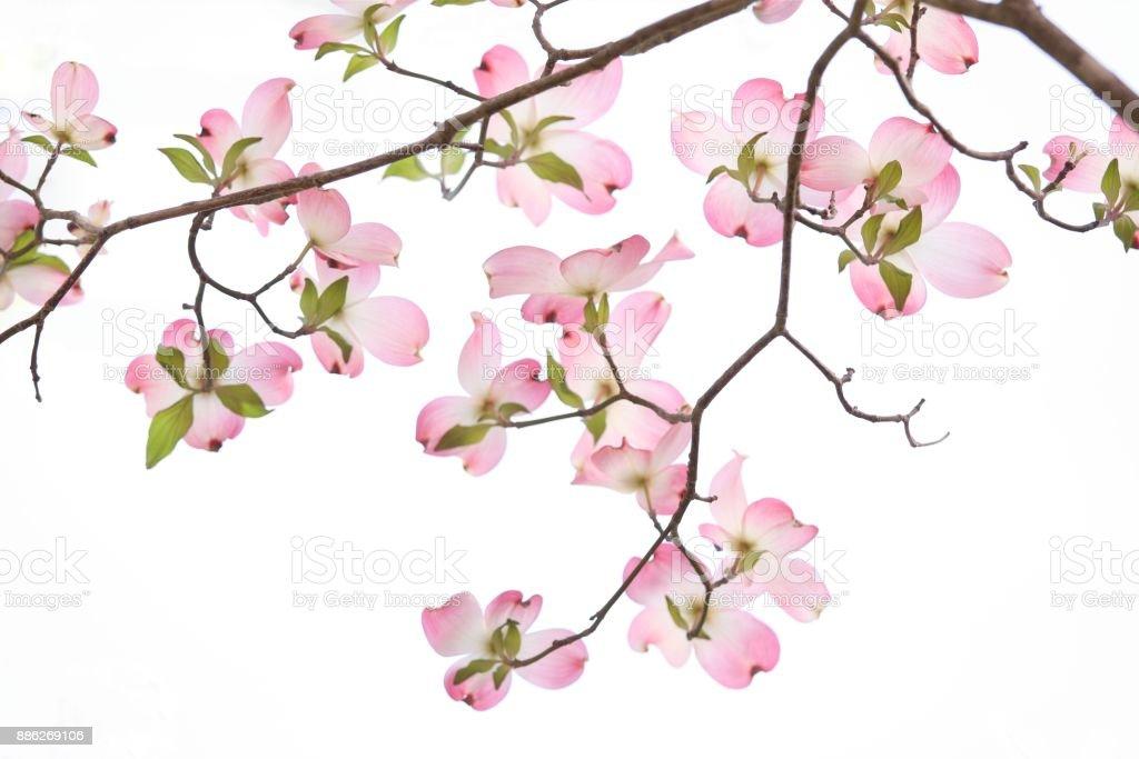 Pink Dogwood flowers on white background stock photo