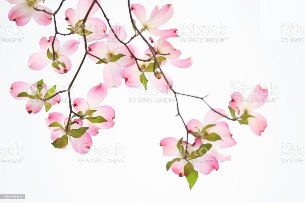 Pink dogwood flowers on white background stock photo more pictures pink dogwood flowers on white background royalty free stock photo mightylinksfo