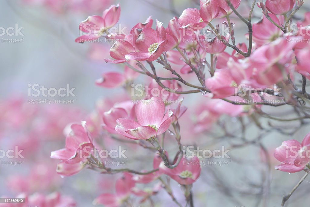 Pink Dogwood Flowers royalty-free stock photo
