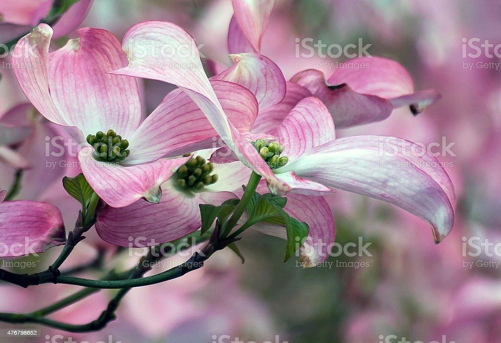 Pink Dogwood flowers stock photo