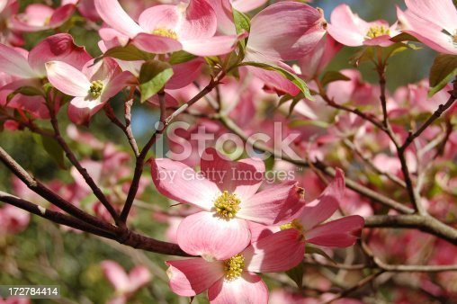 istock pink dogwood 172784414