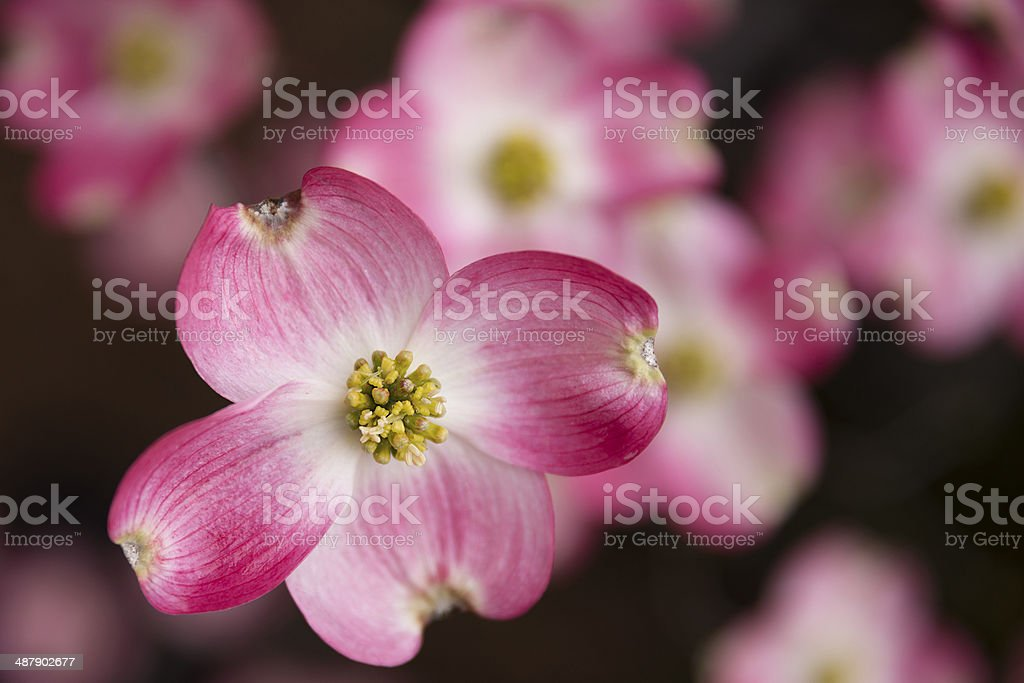 Pink Dogwood stock photo