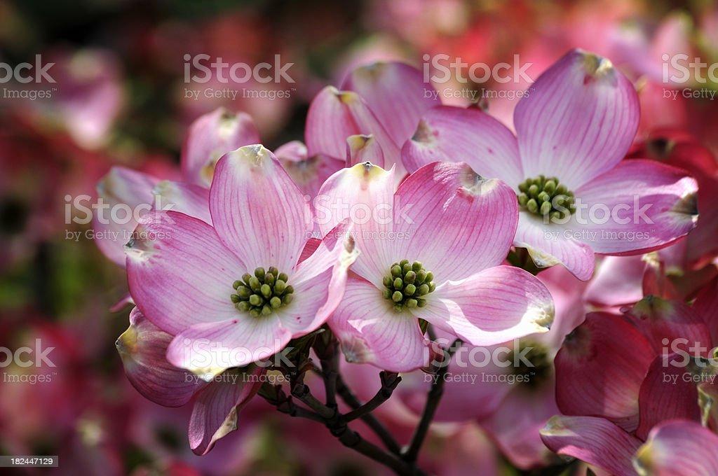 Pink dogwood, shallow DOF stock photo