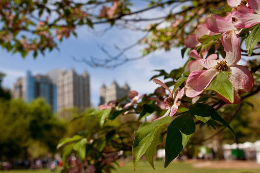 The pink blossoms of a dogwood tree in Piedmont Park frame an Atlanta cityscape as spring unfolds in the city.