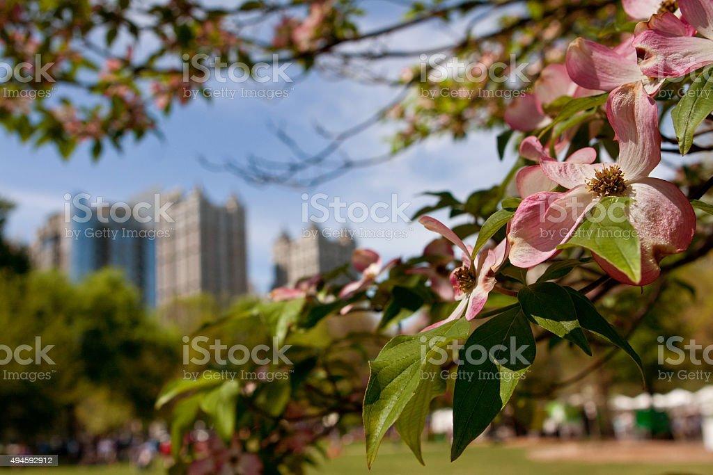 Pink Dogwood Tree Blossoms Frame Springtime Atlanta Cityscape stock photo