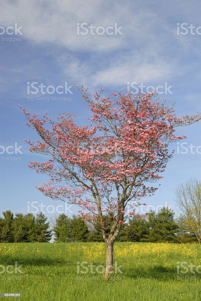 Dogwood albero rosa foto stock royalty-free