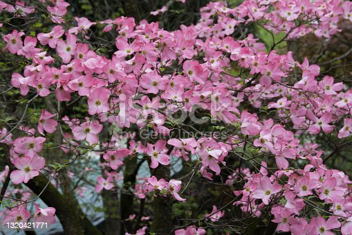 istock Pink Dogwoods-Spring Flowers in a woodland Scene-Azalea Walk Reserve-Gibson County Indiana 1320421771