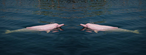 Pink Dolphin in the sea. Pink Dolphin in the sea. boto river dolphin stock pictures, royalty-free photos & images