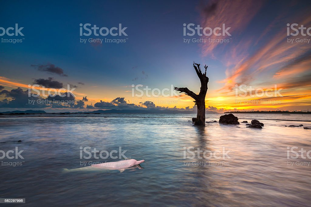Pink Dolphin in the sea. – Foto