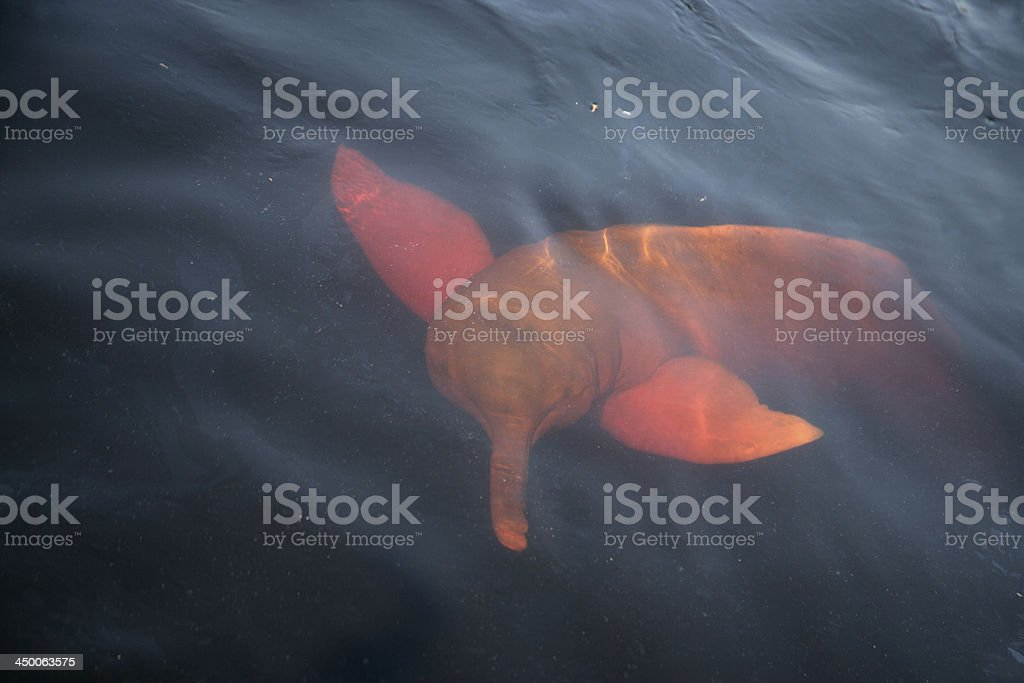 Pink dolphin Inia geoffrensis – Foto
