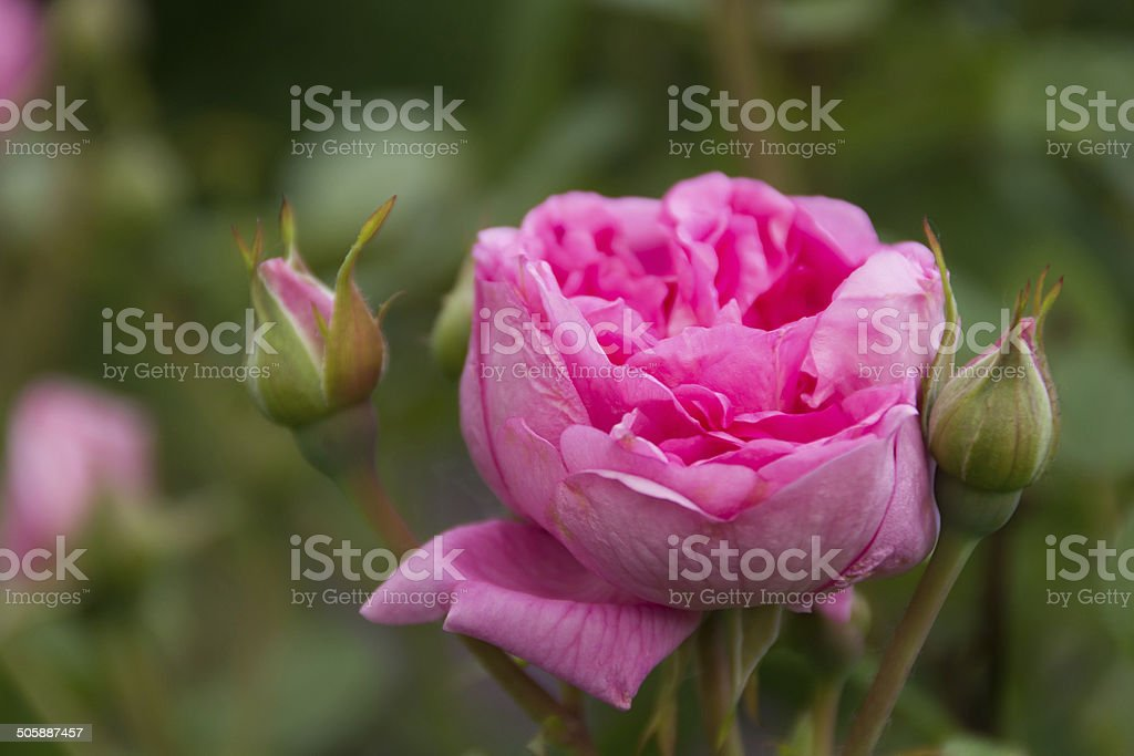 Pink double rose with two buds. royalty-free stock photo