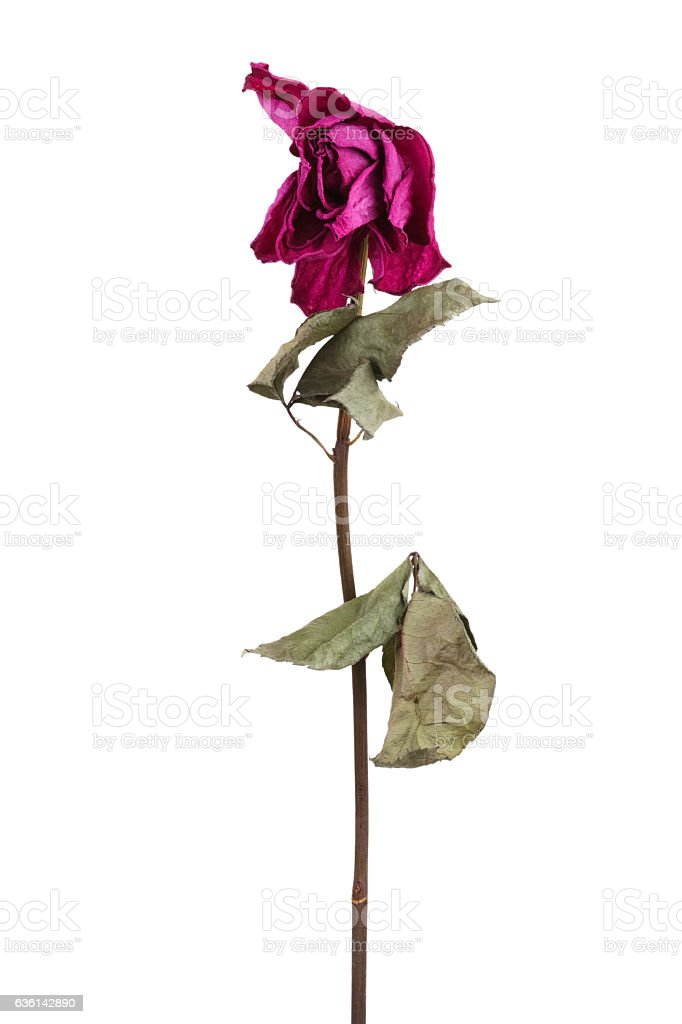 Pink dried rose stock photo