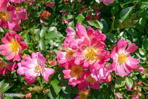 Pink Drift Rose is low-growing with distinctive mounded flowers.