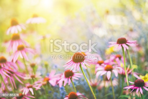 Pink Echinacea flowers in a garden