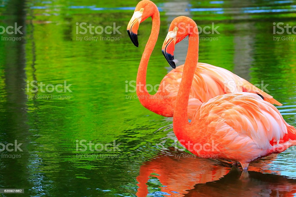 Pink elegant flamingos side by side,  tropical birds couple close up - foto de stock