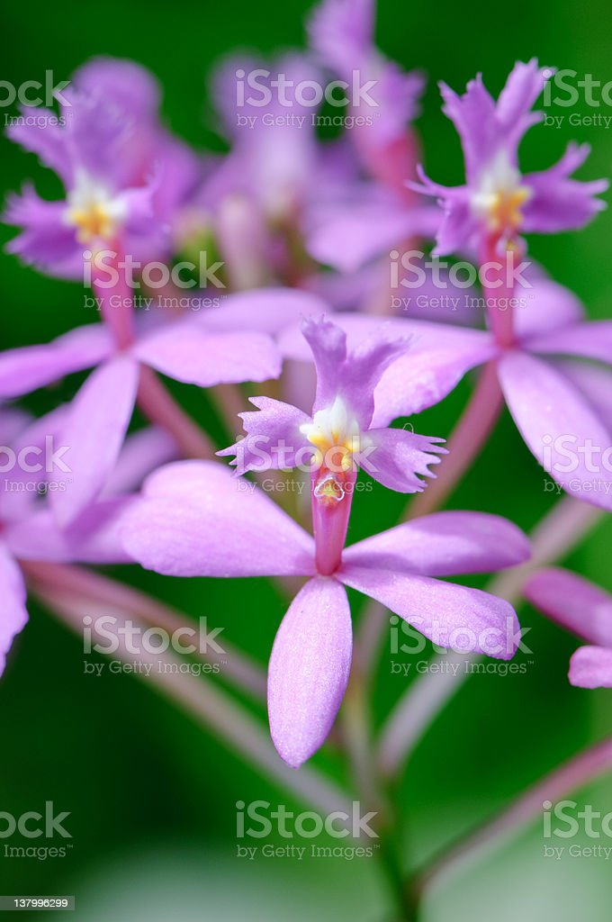 Pink Epidendrum orchid stock photo