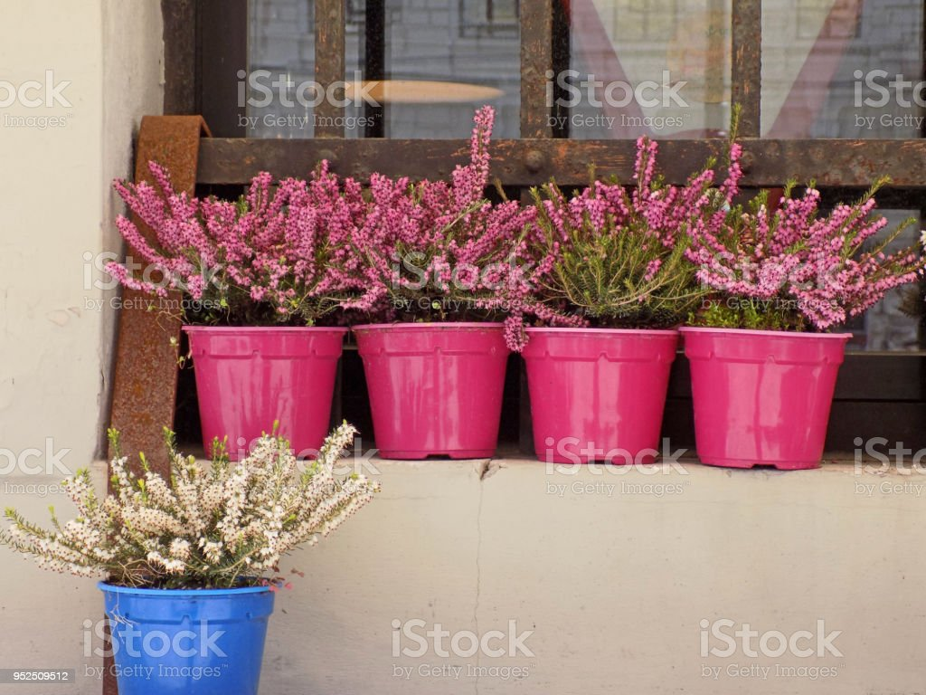Pink Erica Plants In The Pink Flowerpots On The Window Sill And One