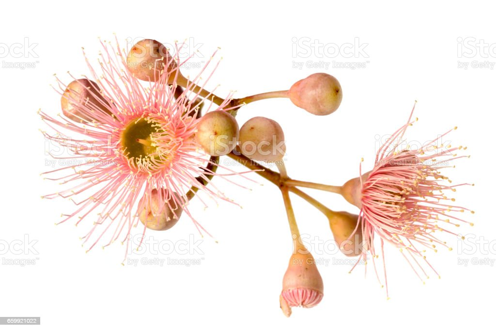 Pink Eucalyptus Flower with Buds Isolated on White stock photo