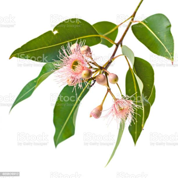 Pink eucalyptus flowers buds and leaves isolated on white picture id659826912?b=1&k=6&m=659826912&s=612x612&h=uekvf3jv4h74iwblhw1gn3z4rxpgk2nts5c0c8l05cm=
