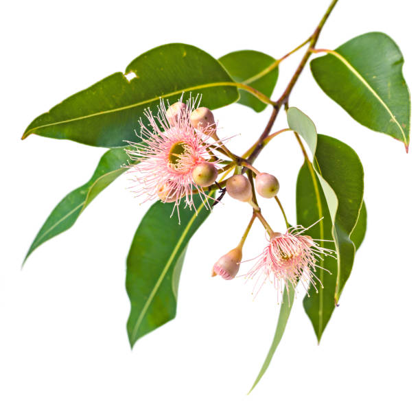 Pink Eucalyptus Flowers Buds and Leaves Isolated on White stock photo