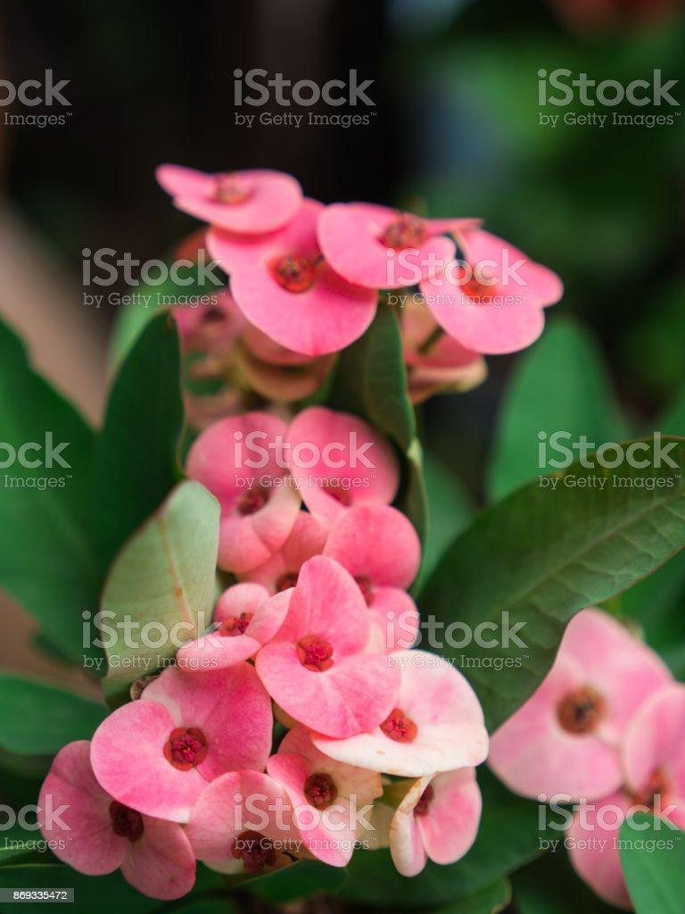 Pink Euphorbia milii Flowers Blooming stock photo