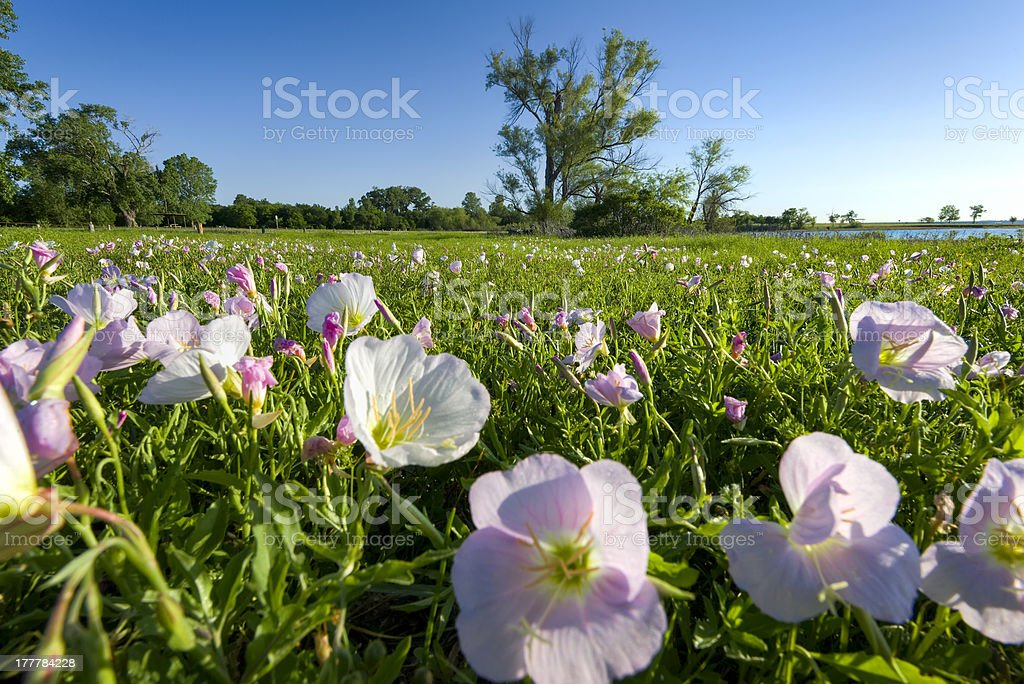 Pink Evening Primrose on a Texas Morning royalty-free stock photo