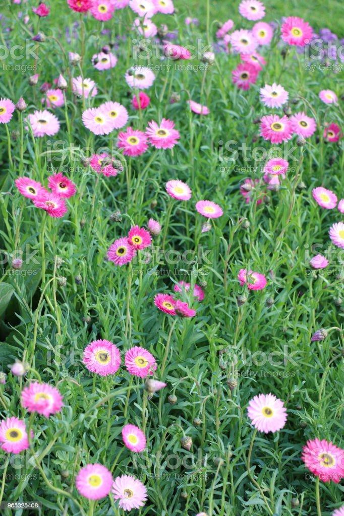 Pink Everlasting Daisies zbiór zdjęć royalty-free