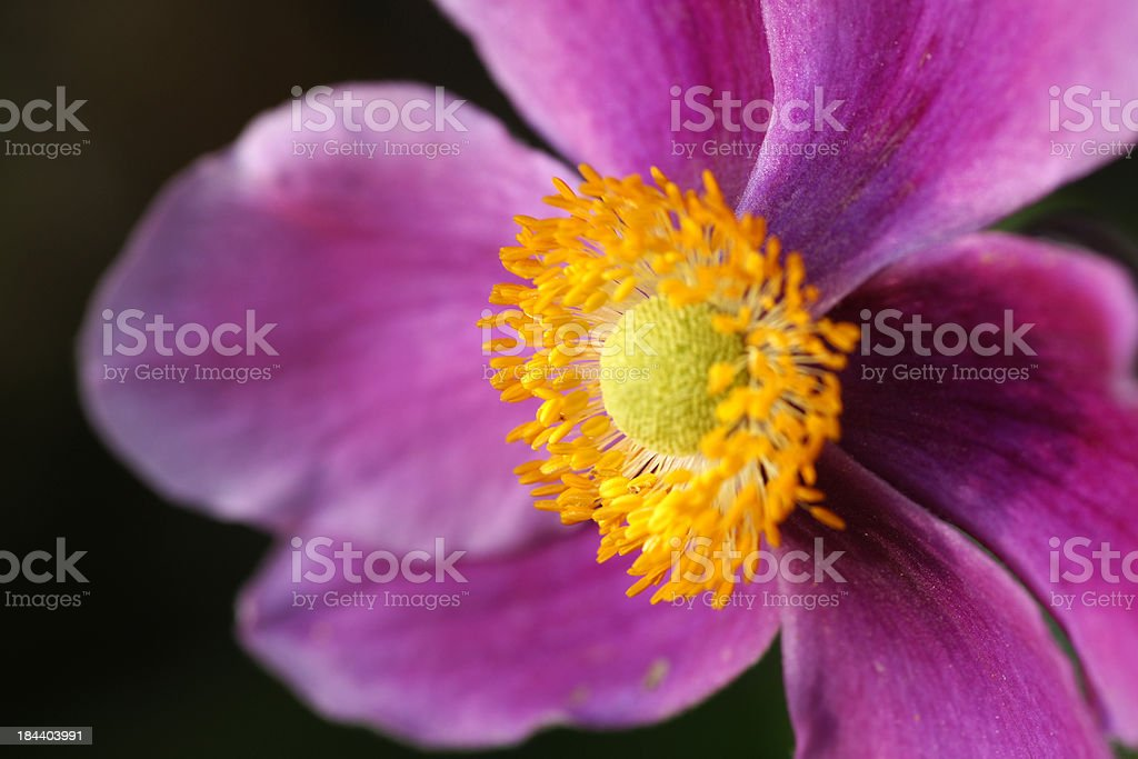 Pink fall anemone royalty-free stock photo