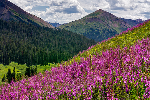 Pink Fireweed and Mountain Views - Maroon Bells-Snowmass Wilderness, Colorado USA.