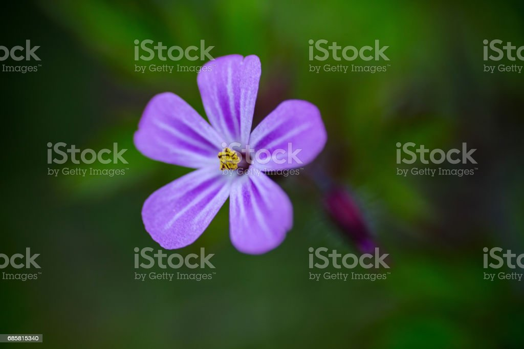 pink five petal flower Isolated in garden stock photo