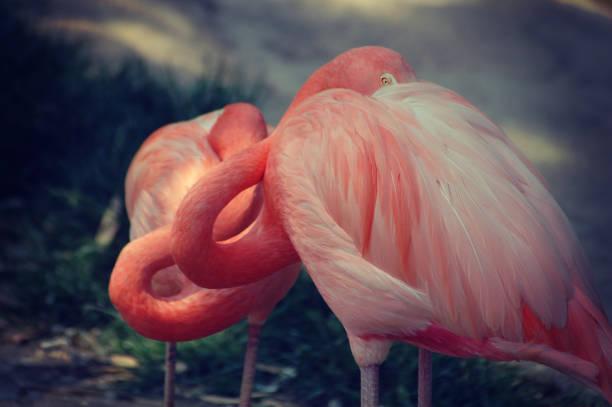 Pink flamingo birds standing in love - foto stock