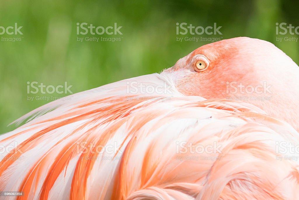 Rosa Flamingo Nahaufnahme Lizenzfreies stock-foto