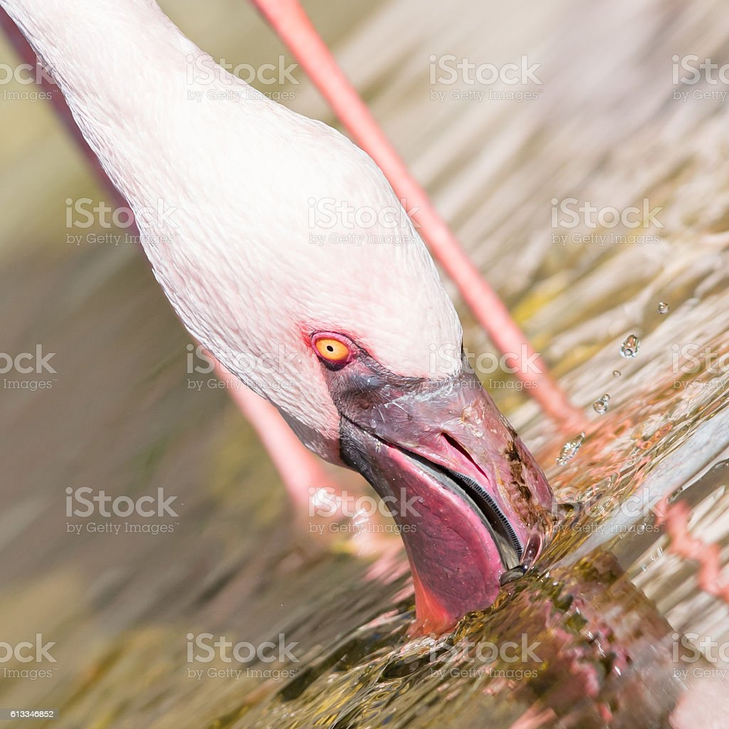 Pink flamingo is drinking - Selective focus stock photo
