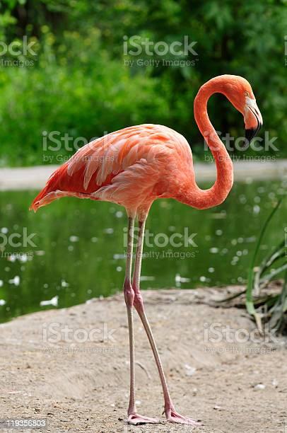 Pink flamingo on a pond